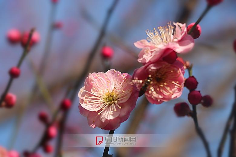 红梅花儿开4.jpg