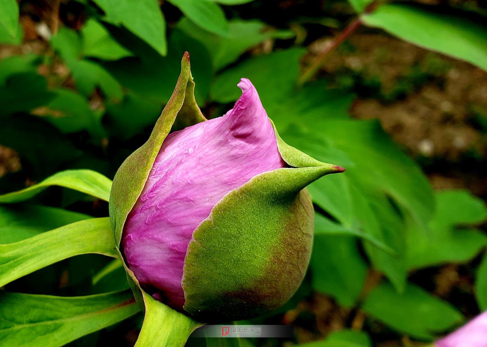 国色天香--记录牡丹花绽放过程1.jpg