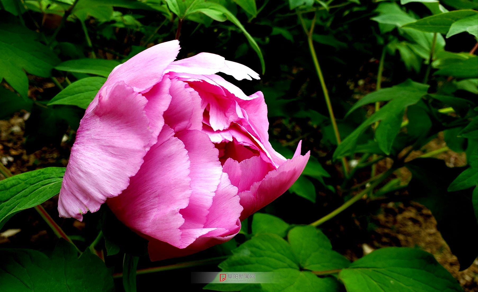 牡丹花2.jpg