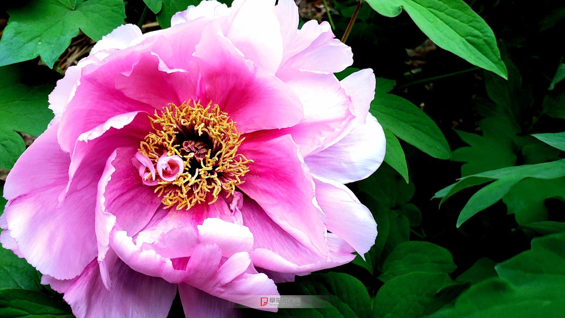 牡丹花4.jpg