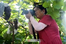 美女拍摄葡萄
