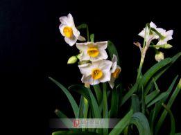 水仙花-2