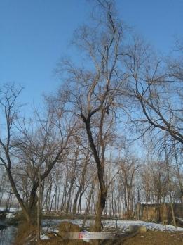 界首市泉阳镇一村庄内的老丝树大棉木树