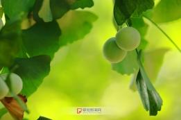 白果满枝头