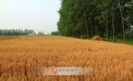 今年的小麦丰收在望(2013.5.23)