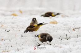 在雪地里觅食的小鸟