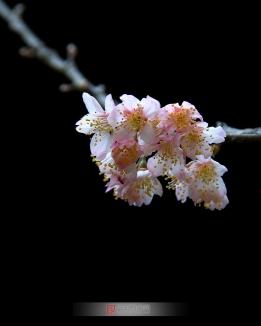 樱桃花开了
