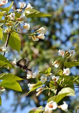 錜鱼水库岸边的花上的蝴蝶