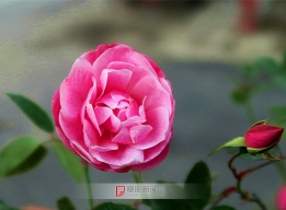 三九蔷薇开