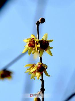 梅园腊梅花-2