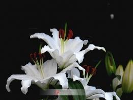 洁白的百合花