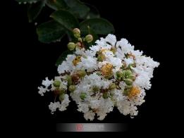 白色紫薇花