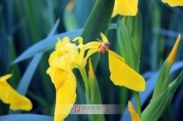 黄色蝴蝶花