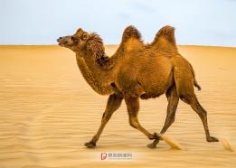 沙漠骆驼跑起来