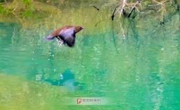 小巫峡水鸟