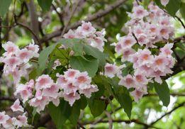 楸树花开繁如锦