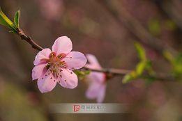 桃花依旧笑东风