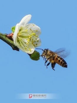 花香蜂自来