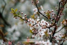 暗香----雨后的樱桃花