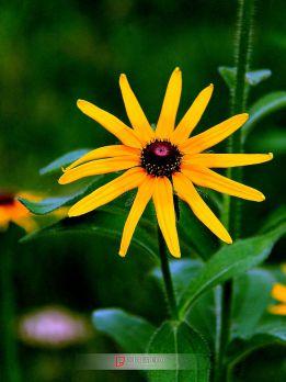 小花像太阳